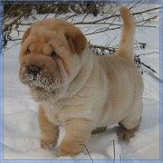 Милые щенята шарпея ищут родителей!