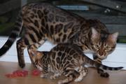 Настоящие Бенгальские котята с классными подарками